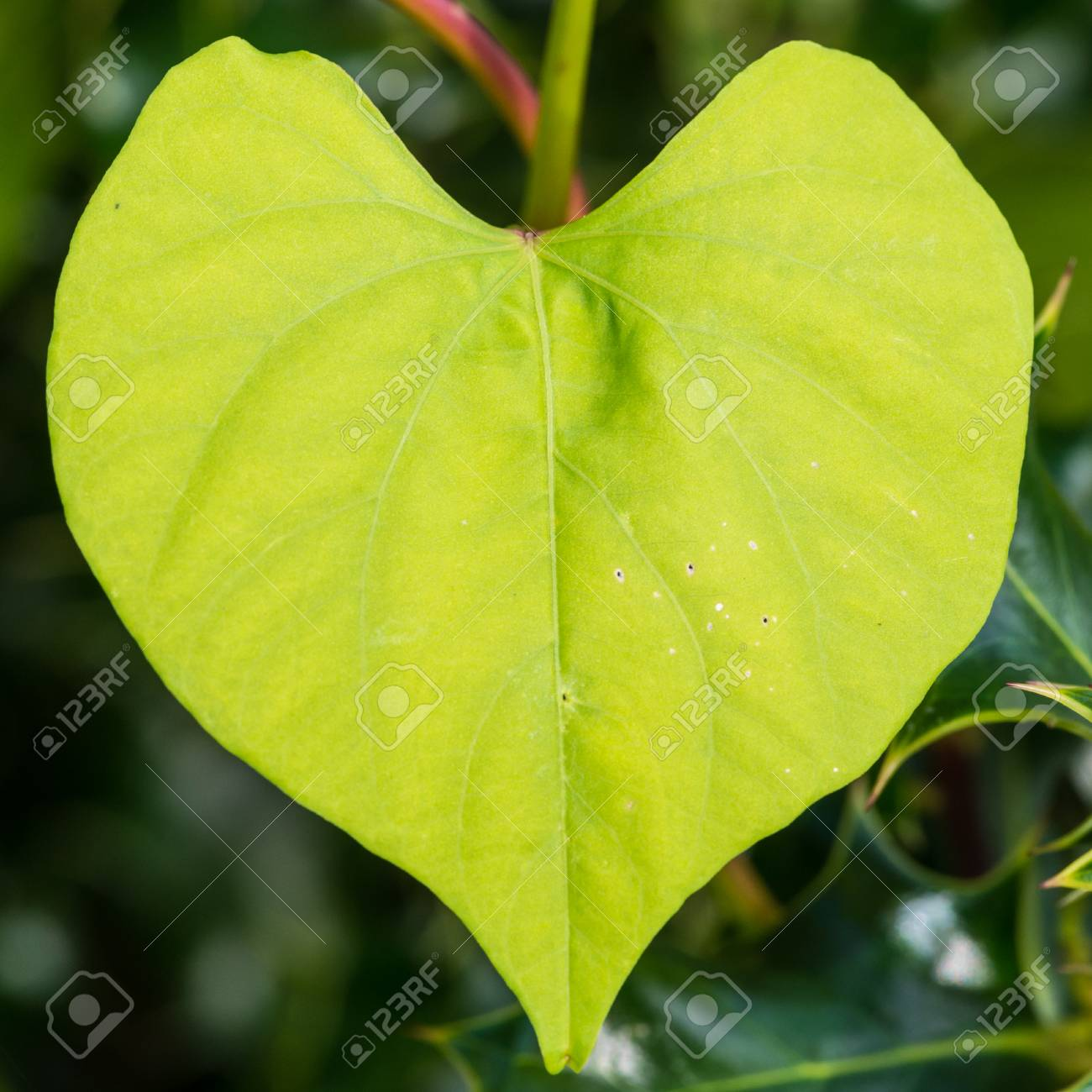 A macro shot of the heart shaped leaves of a morning glory plant a macro shot of the heart shaped leaves of a morning glory plant stock photo mightylinksfo