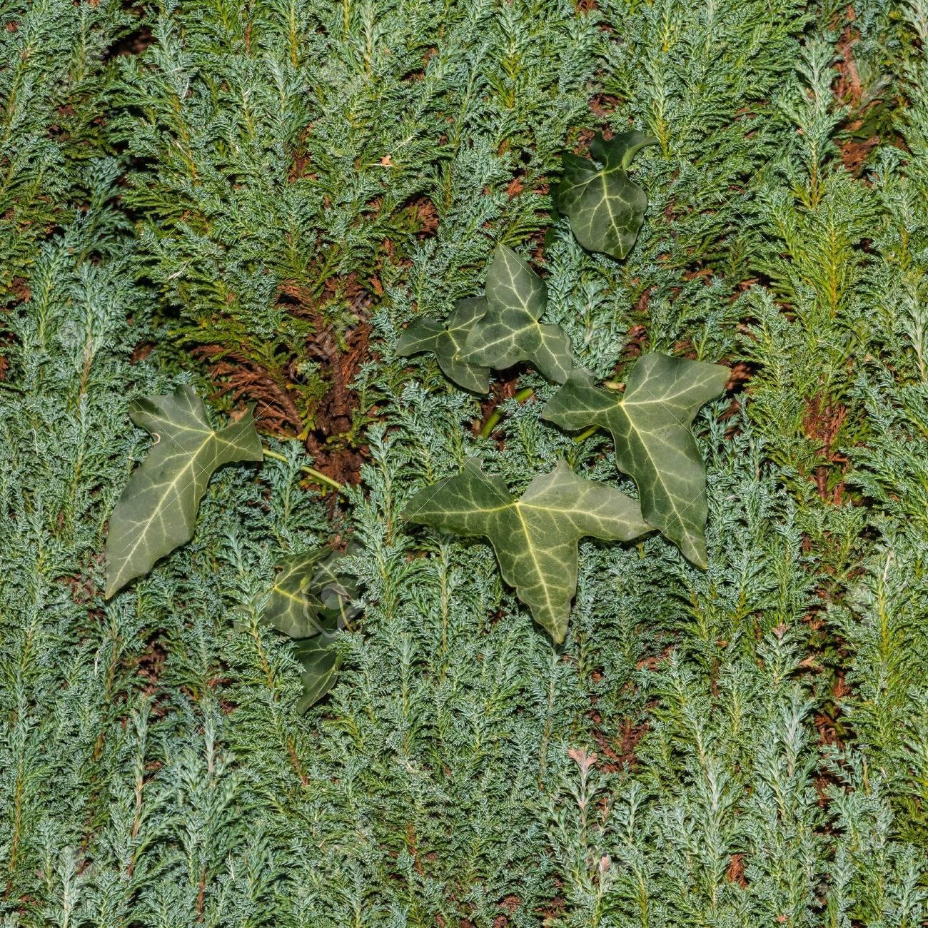 Eine Abstrakte Bild Von Einigen Efeublättern Klettern Eine
