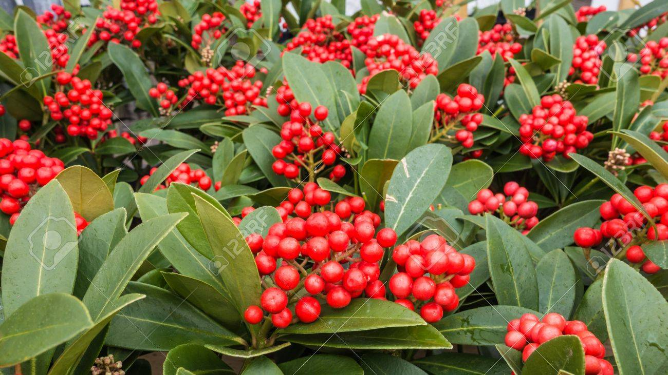 A Shot Of Some Skimmia Japonica Plants With Red Berries Stock