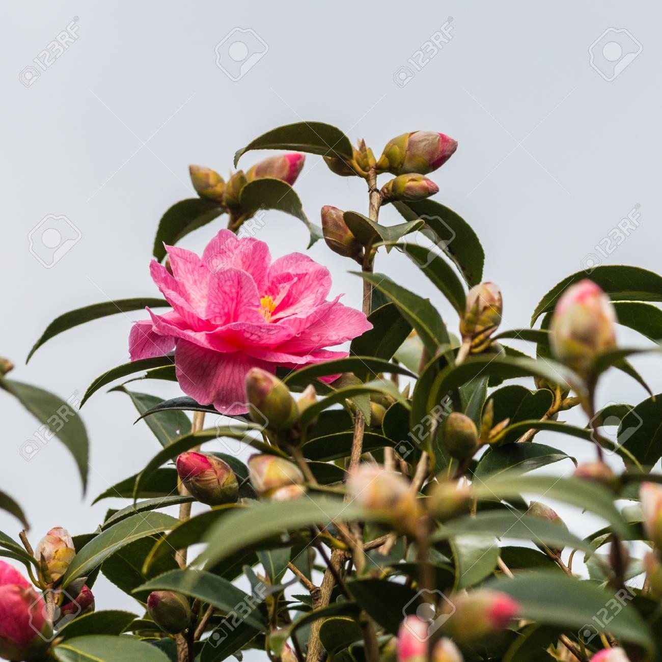 Un Tir D Un Camelia Rose Bloom Entoure De Boutons De Fleurs Banque