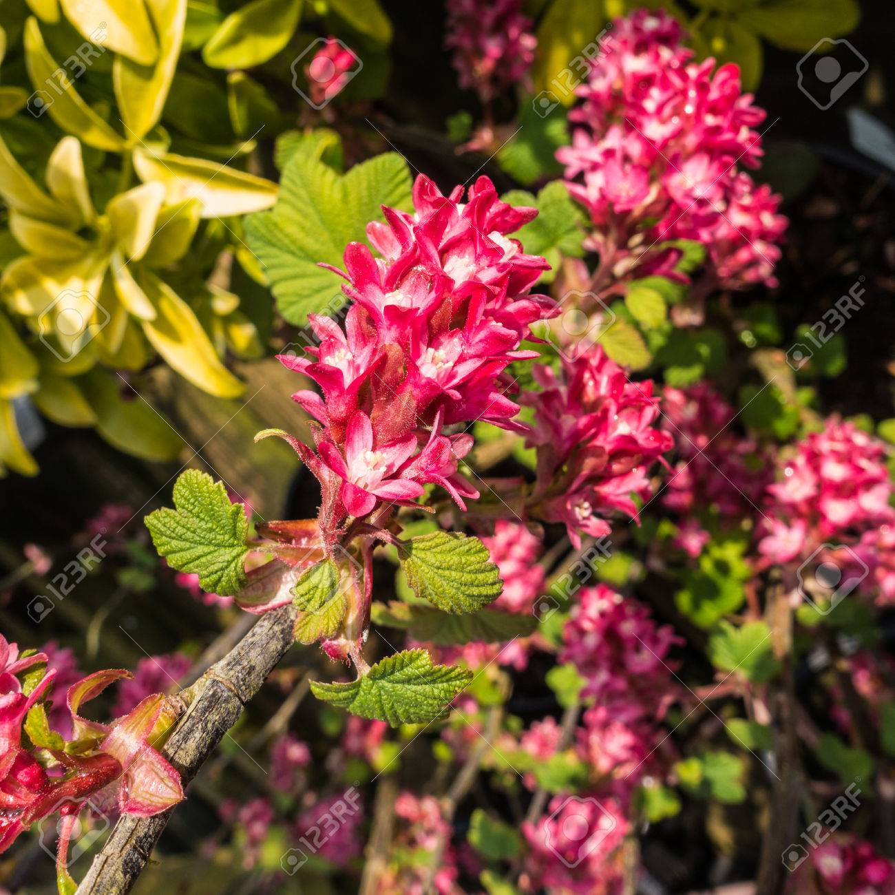 A Macro Shot Of Some Pink Flowering Currant Blooms Stock Photo