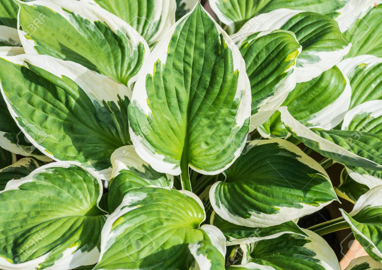 A Shot Of The Leaves Of A Large Hosta Plant Stock Photo Picture
