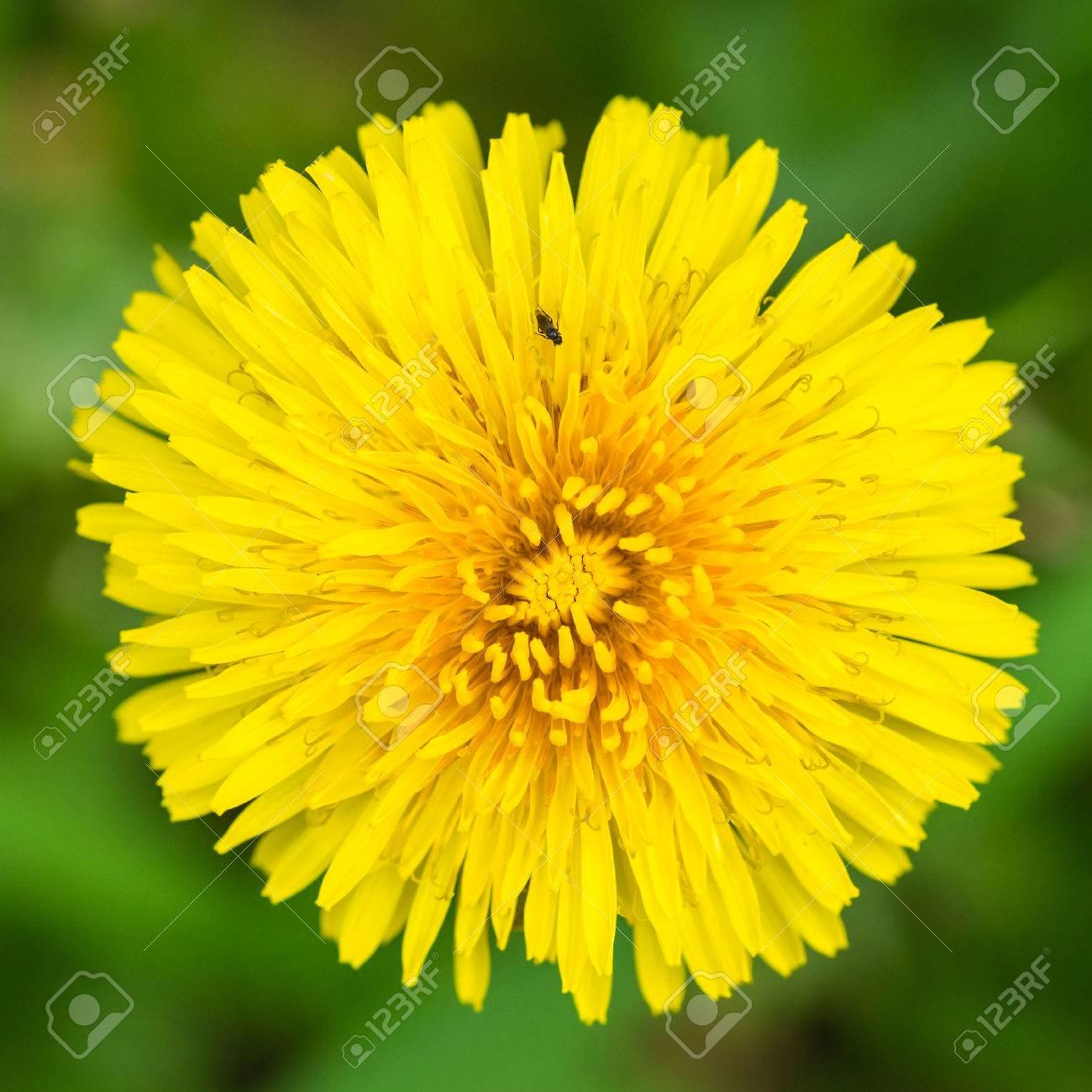 A macro shot of a yellow dandelion bloom. - 46976584