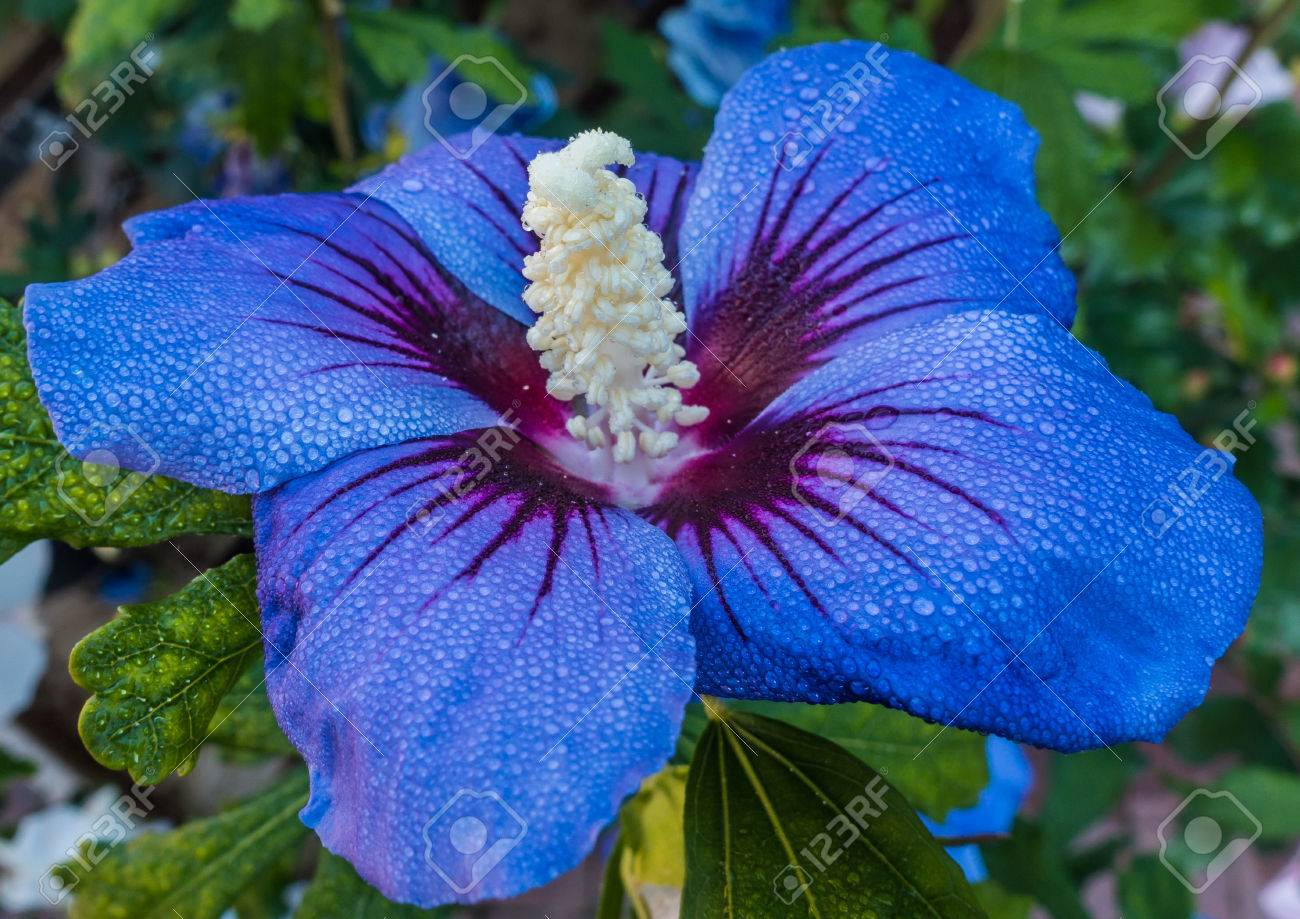 A Macro Shot Of A Blue Hibiscus Bloom Stock Photo Picture And