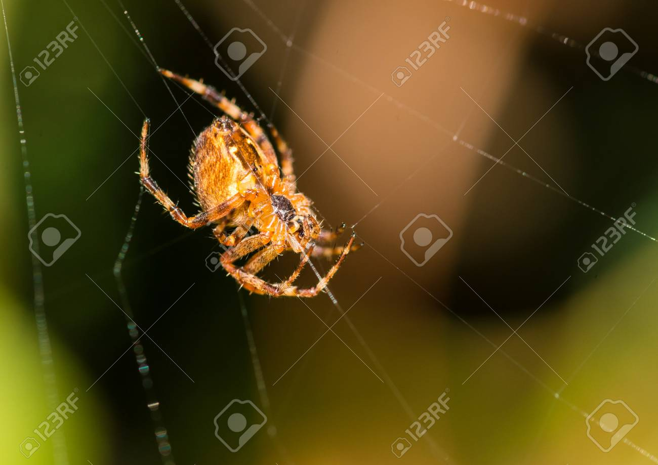 A Macro Shot Of The Underside Of A Garden Spider Sitting In Its ...