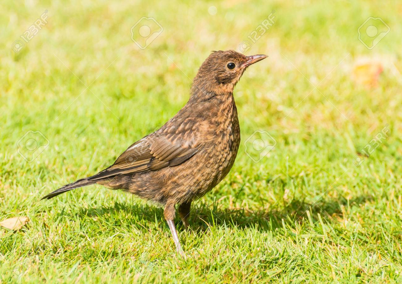 A Shot Of Juvenile Blackbird Standing On Lawn Stock Photo