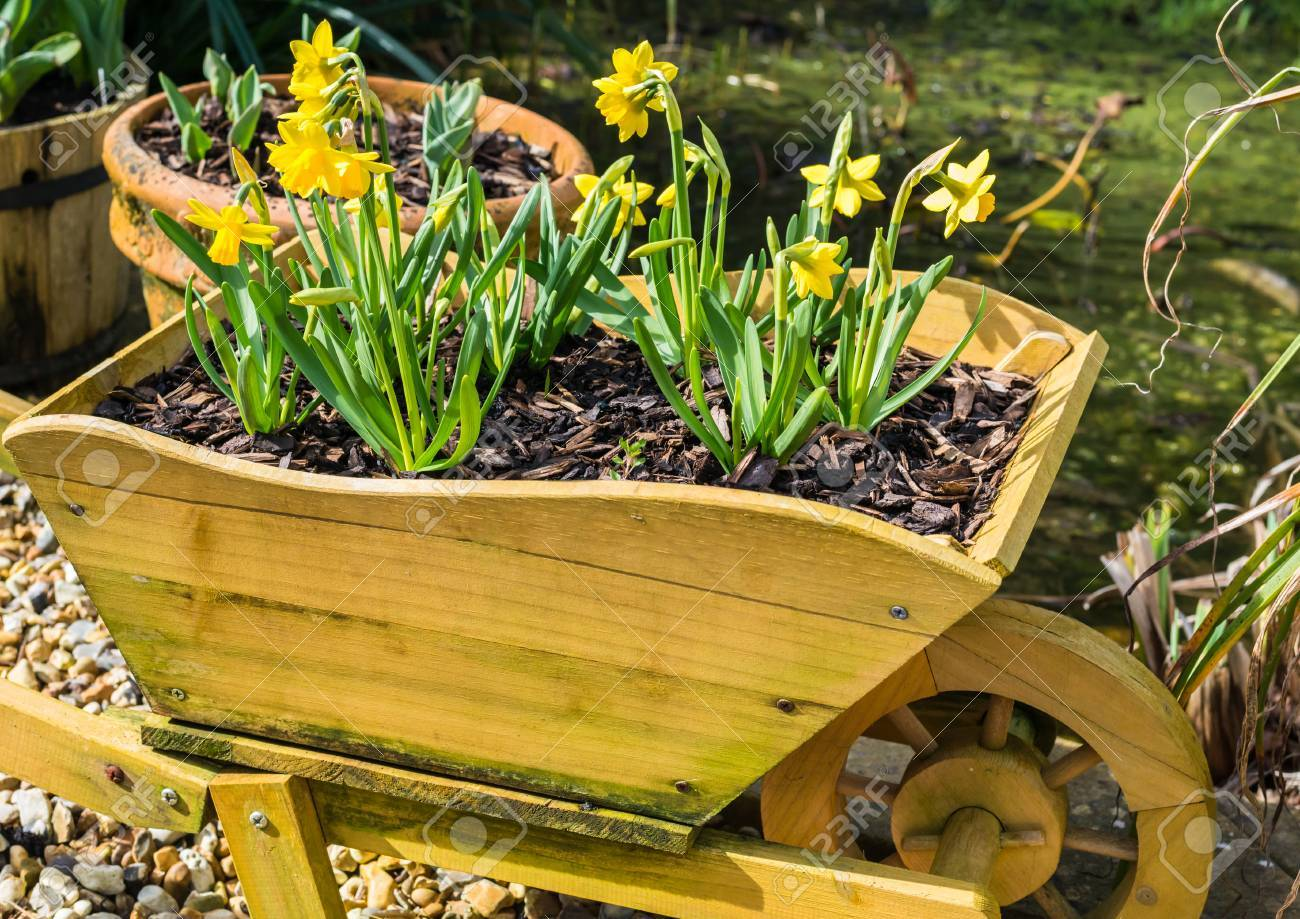 A Shot Of Some Miniature Daffodils In A Decorative Wooden ...