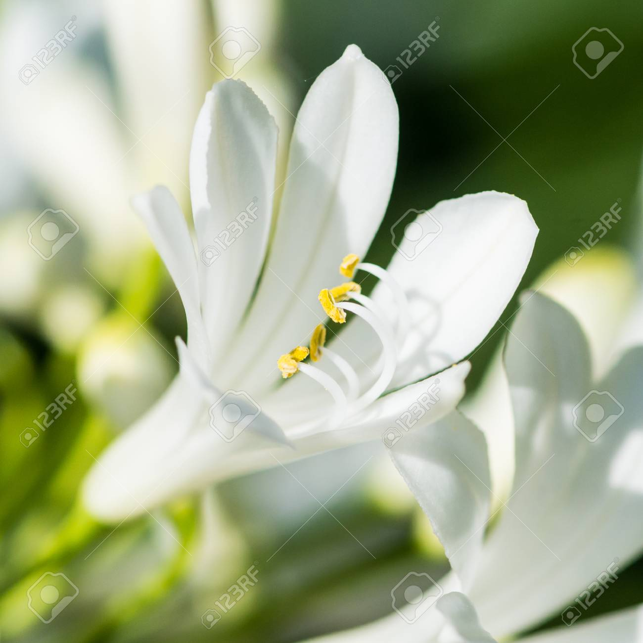 A Macro Shot Of A White Agapanthus Bloom Stock Photo Picture And