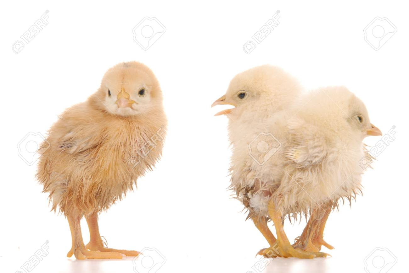 baby chick over a white background Stock Photo - 5073665