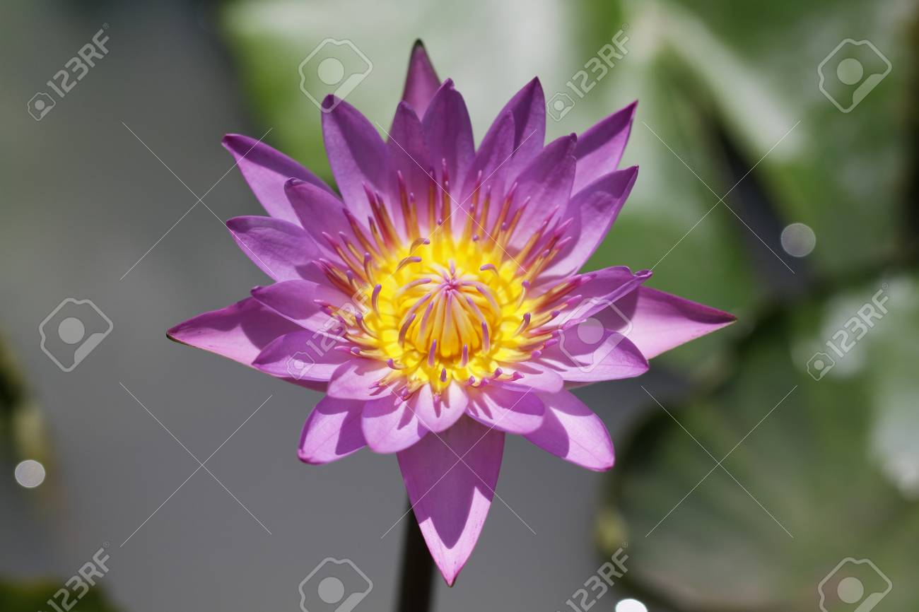 Purple Pink yellow lotus blossom, water lily flowers on green.. on island homes plans, square homes plans, grand homes plans, forest homes plans, mitchell homes plans, manufactured homes plans, wood homes plans,