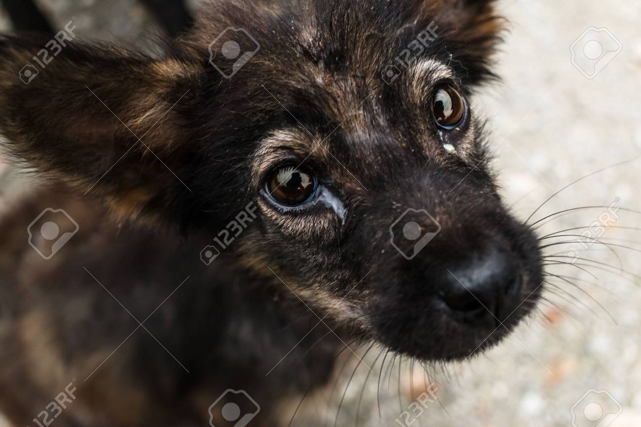 Cute Puppy Dog Eyes Looking To You Stock Photo Picture And Royalty