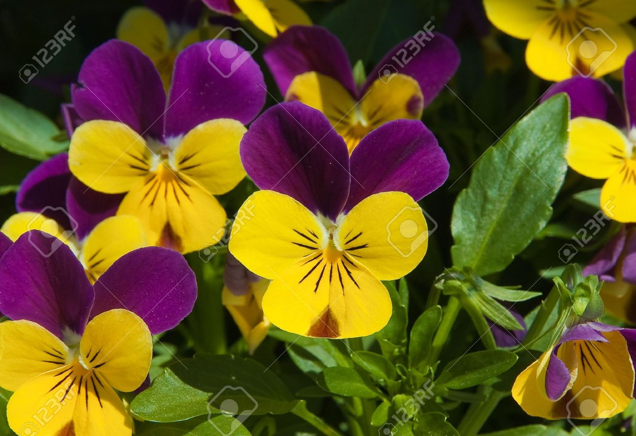 fiori viola gialli