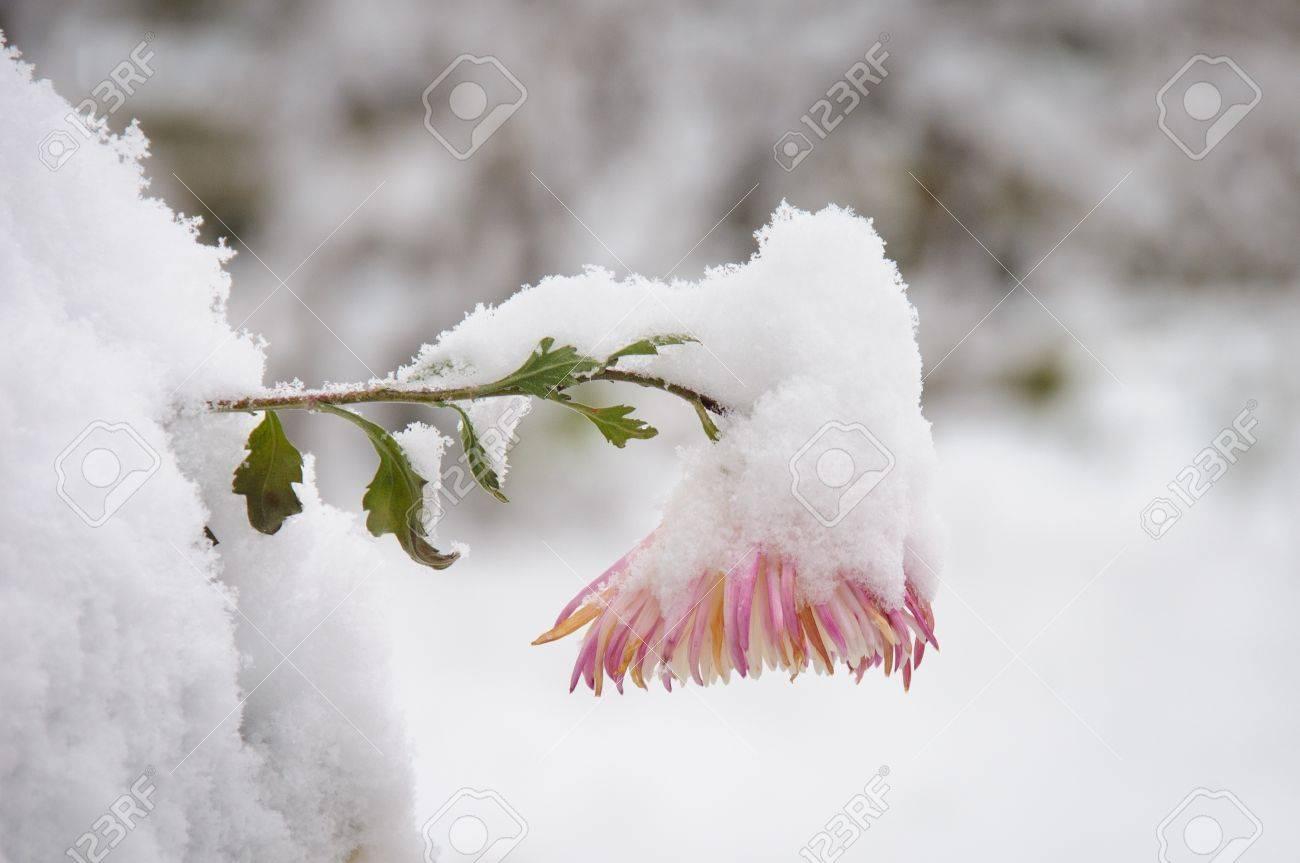 fleur rose et blanc recouvert de neige en hiver banque d'images et