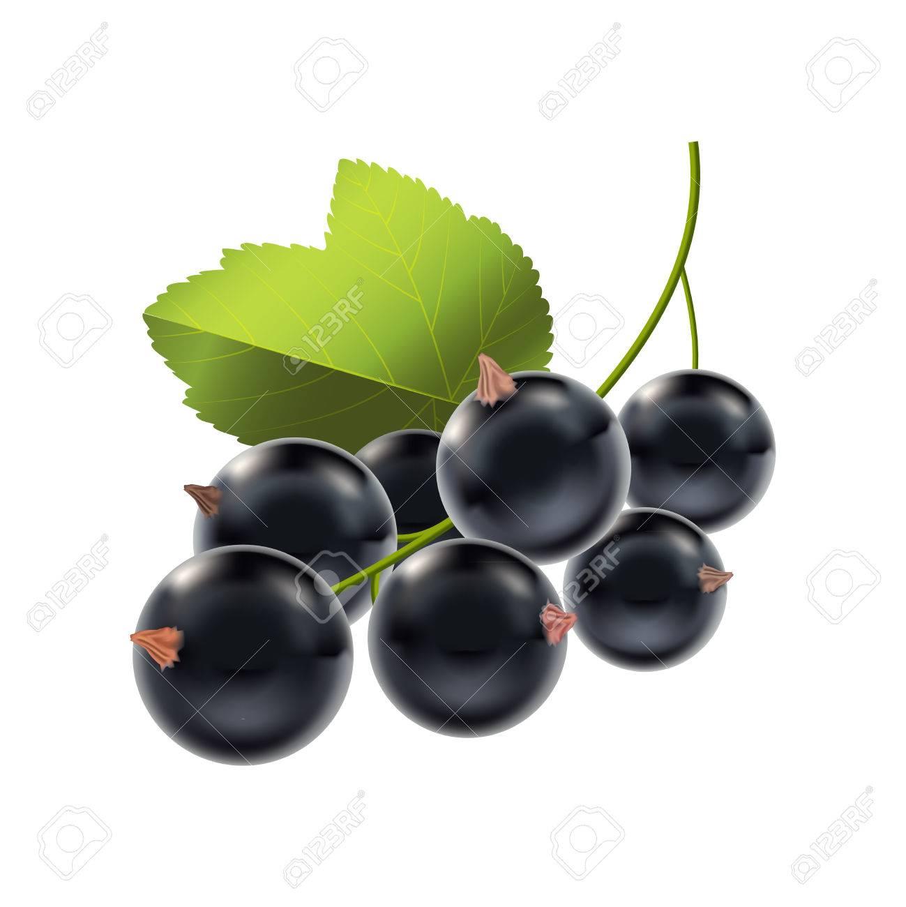 Realistic Detailed Ripe Black Berry Currant Natural Seasonal
