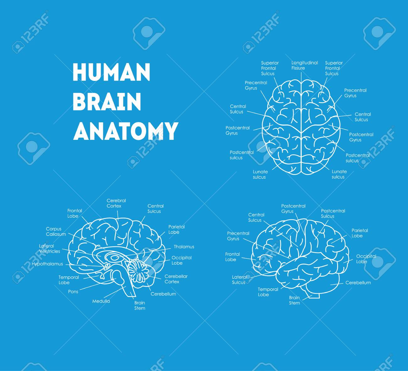 Human Brain Anatomy Card Poster. Royalty Free Cliparts, Vectors, And ...