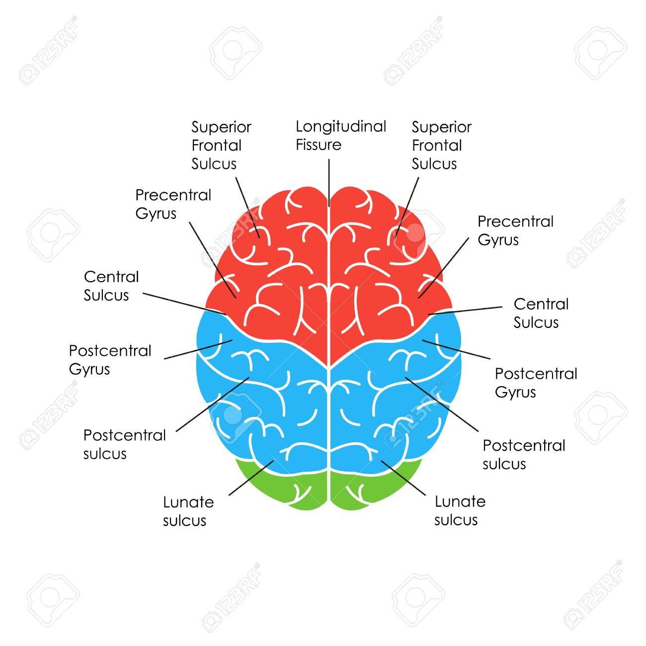 Human Brain Anatomy Card Poster Royalty Free Cliparts Vectors And