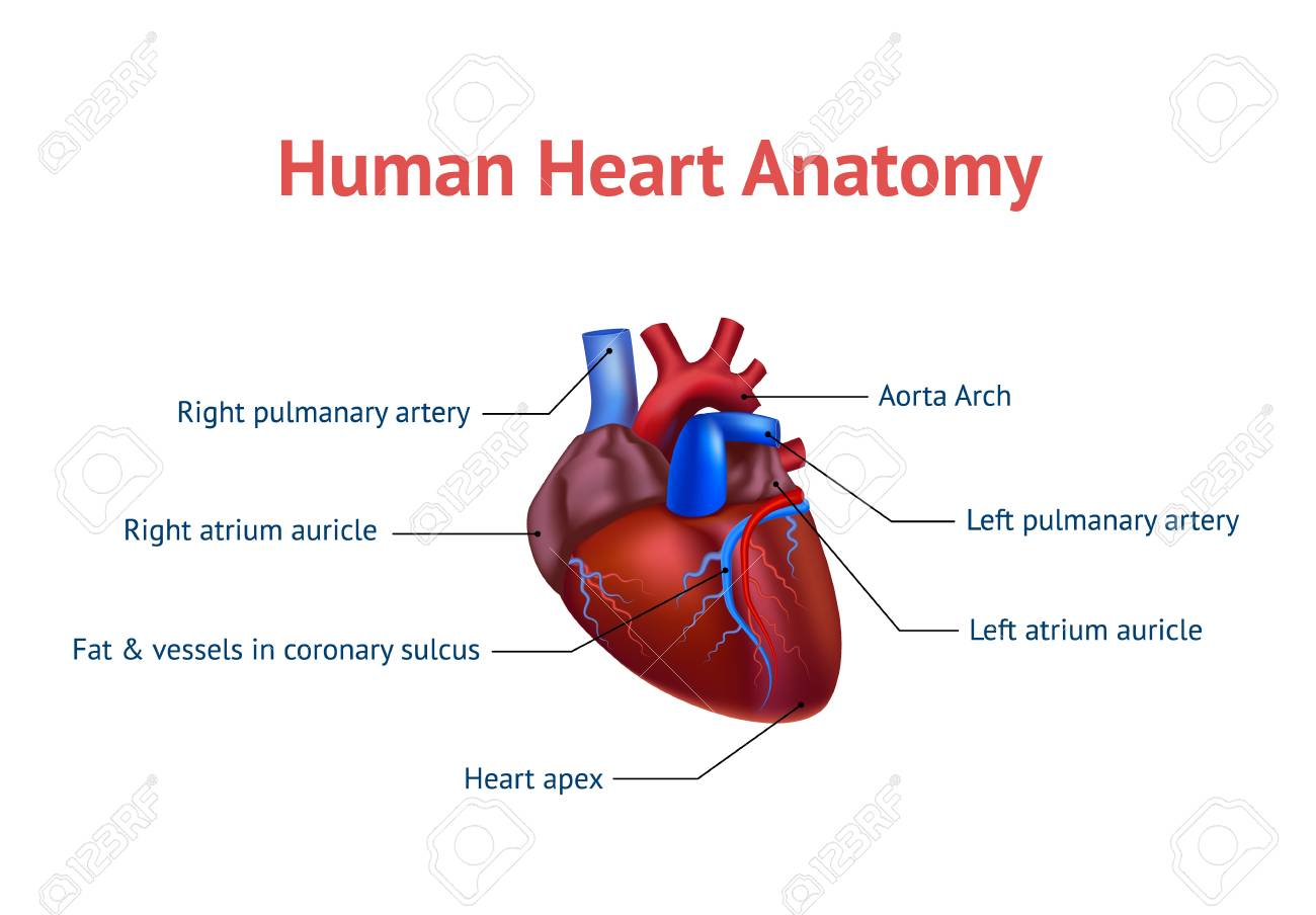 Realistic Detailed 3d Human Anatomy Heart Card Poster. Vector ...