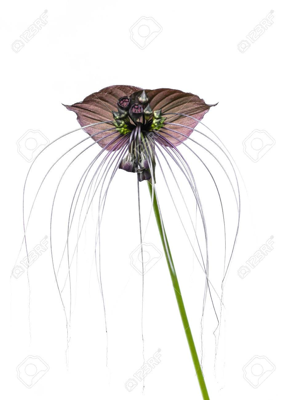 Tacca Chantieri Var Macrantha Black Bat Flower Isolated In White