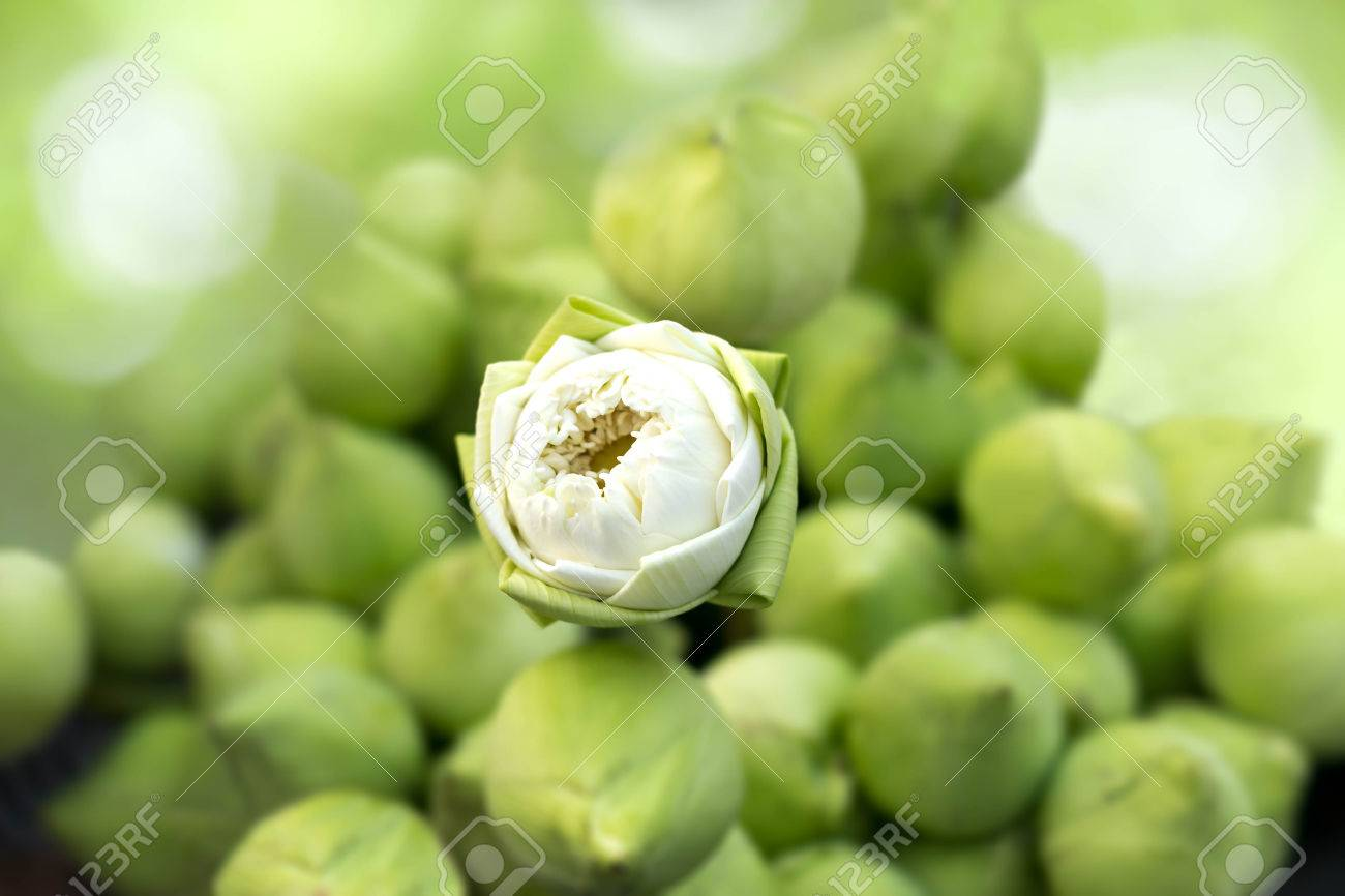Folding Lotus Flowers On Green Lotus Bud Background Stock Photo