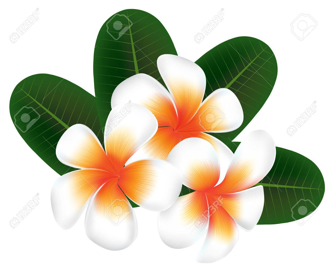 Illustration vector of hawaii flower frangipani white plumeria illustration vector of hawaii flower frangipani white plumeria on white background stock vector 44516256 mightylinksfo
