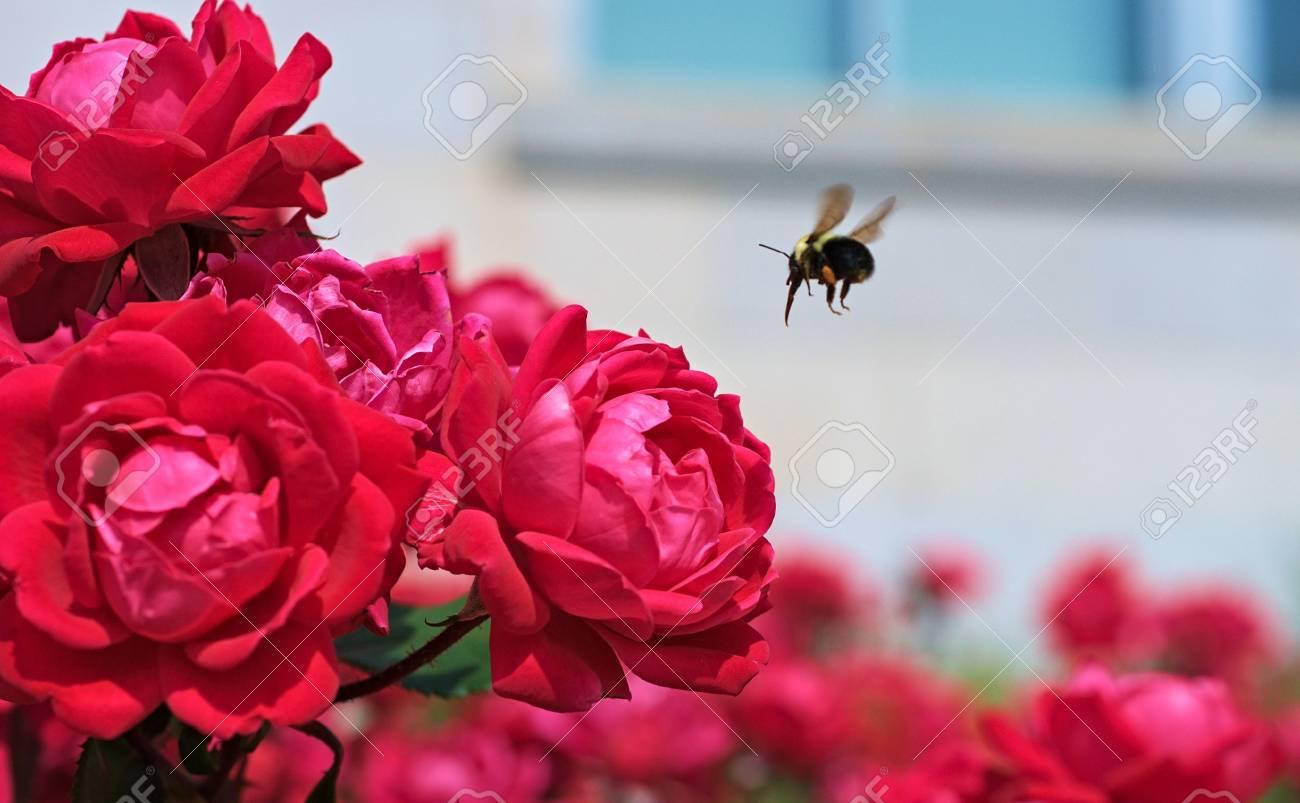 Bumblebee Acercarse Unas Rosas Para Una Comida Rápida