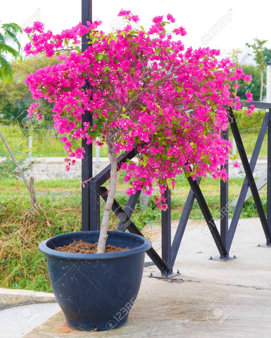 32008963-pink-bougainvillea-flower-in-po