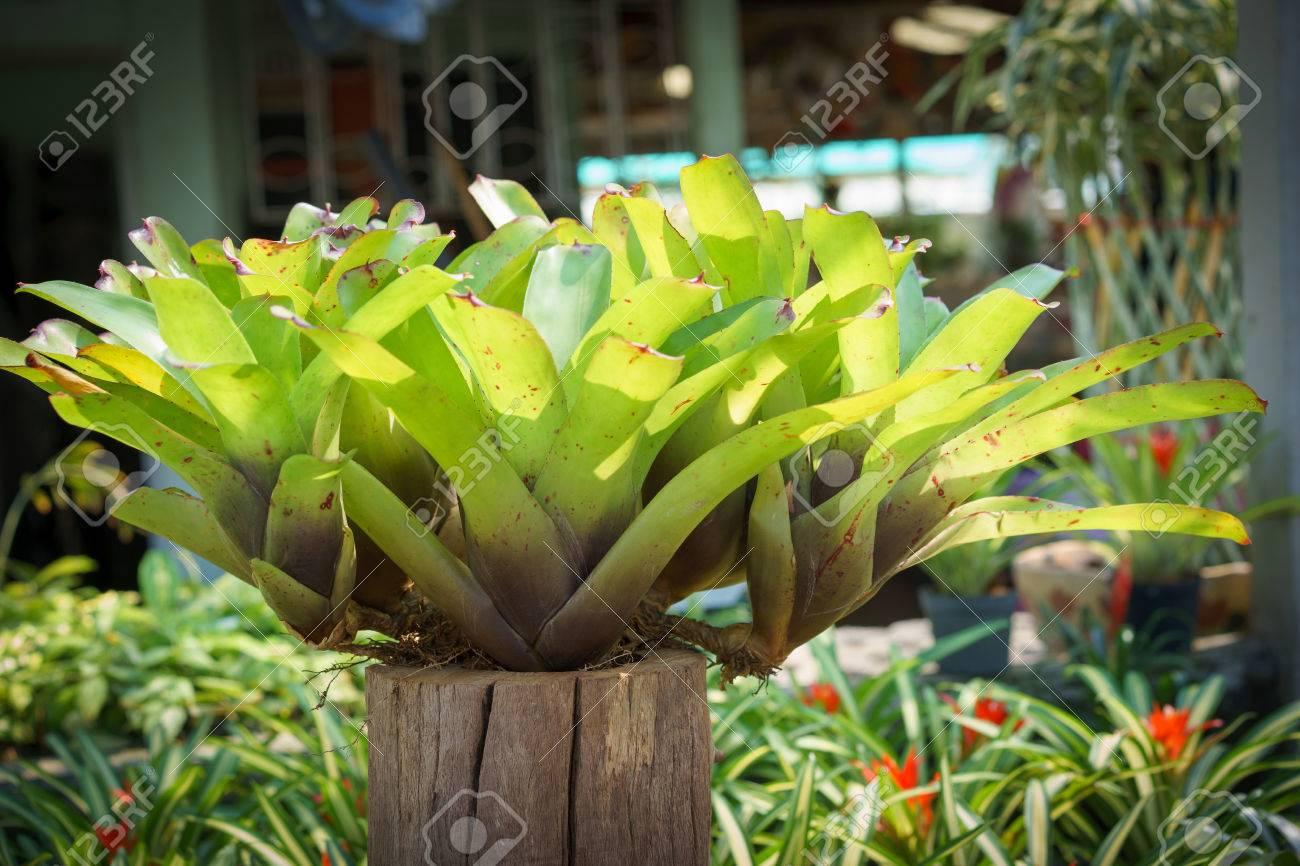 Aechmea ramosa silver vase bromeliad pineapple flowers on aechmea ramosa silver vase bromeliad pineapple flowers on wood pot stock photo reviewsmspy