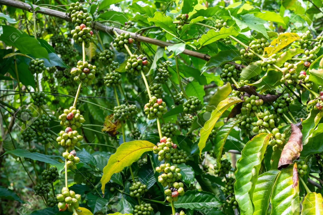 Green Coffee Beans On A Coffee Tree Stock Photo Picture And