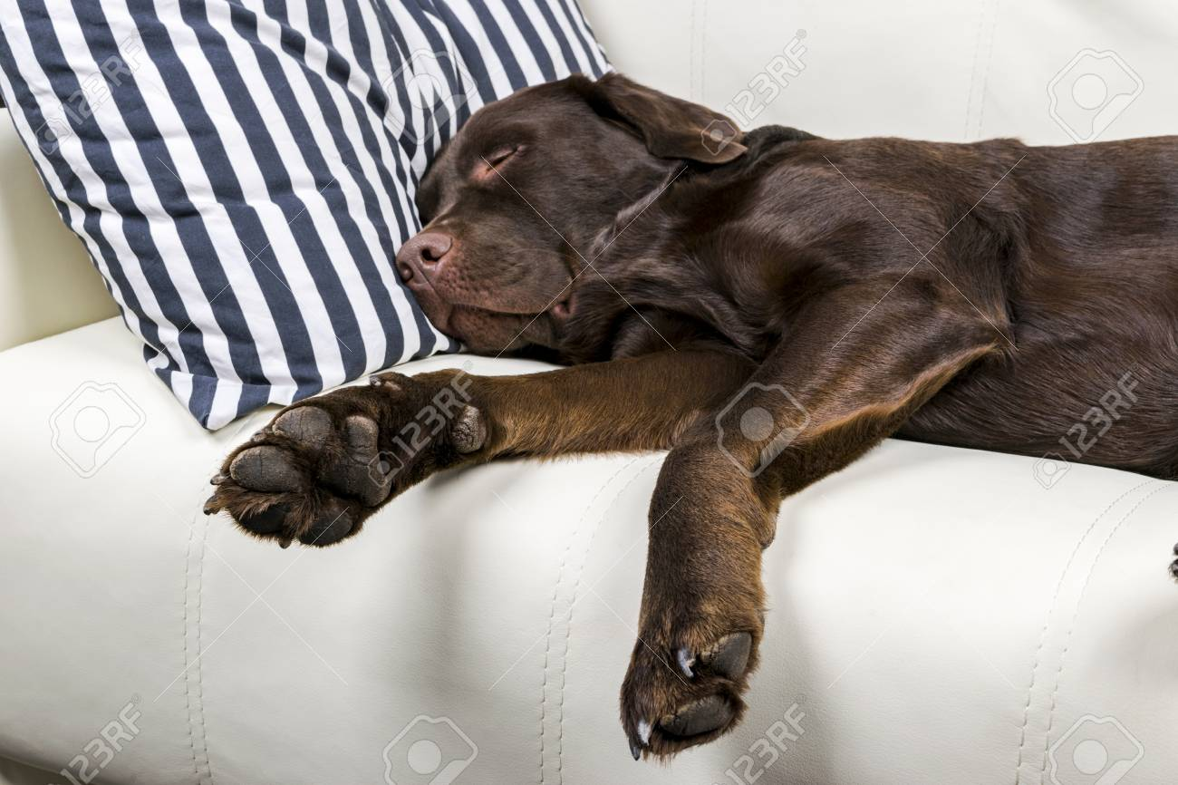 Great Chocolate Brown Adorable Dog - 98360576-brown-chocolate-labrador-retriever-dog-is-sleeping-on-sofa-with-pillow-sleeping-on-the-couch-young-c  2018_386739  .jpg