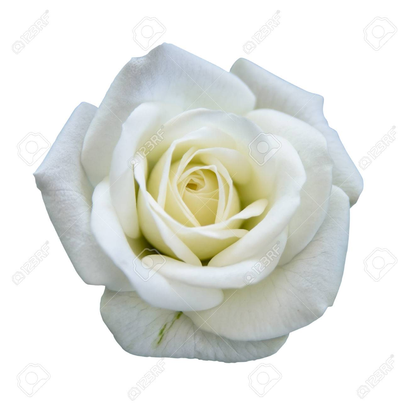 White Rose Stock Photos Royalty Free White Rose Images