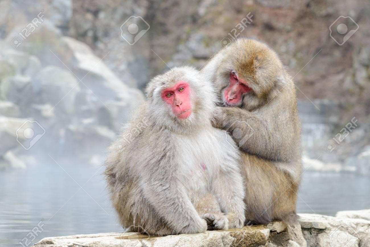 Mono En El Parque De Monos Jigokudani O Mono De La Nieve De La