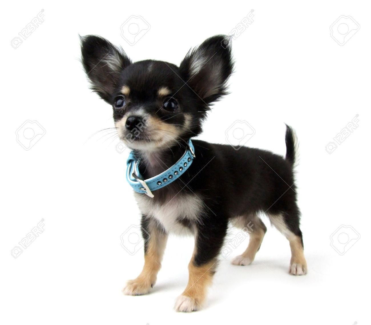 Black And Tan Chihuahua Puppy On White Stock Photo Picture And
