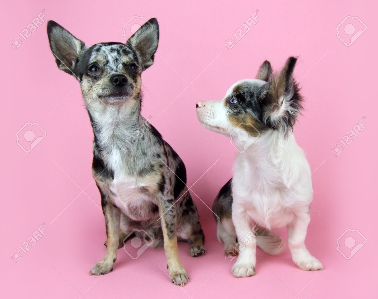 Blue Merle Chihuahua S On Pink Stock Photo Picture And Royalty Free