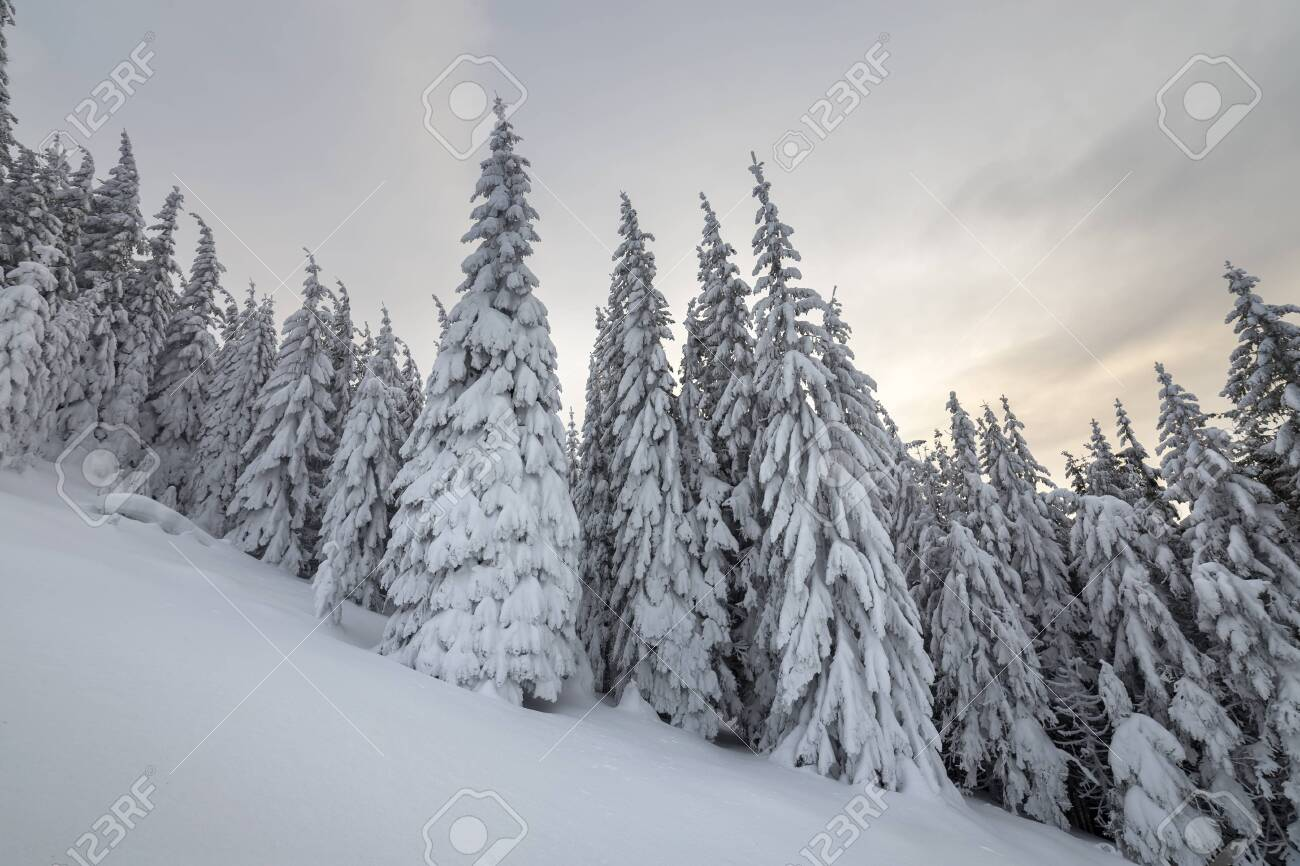Beautiful winter mountain landscape. Tall spruce trees covered with snow in winter forest and cloudy sky background. - 128342896
