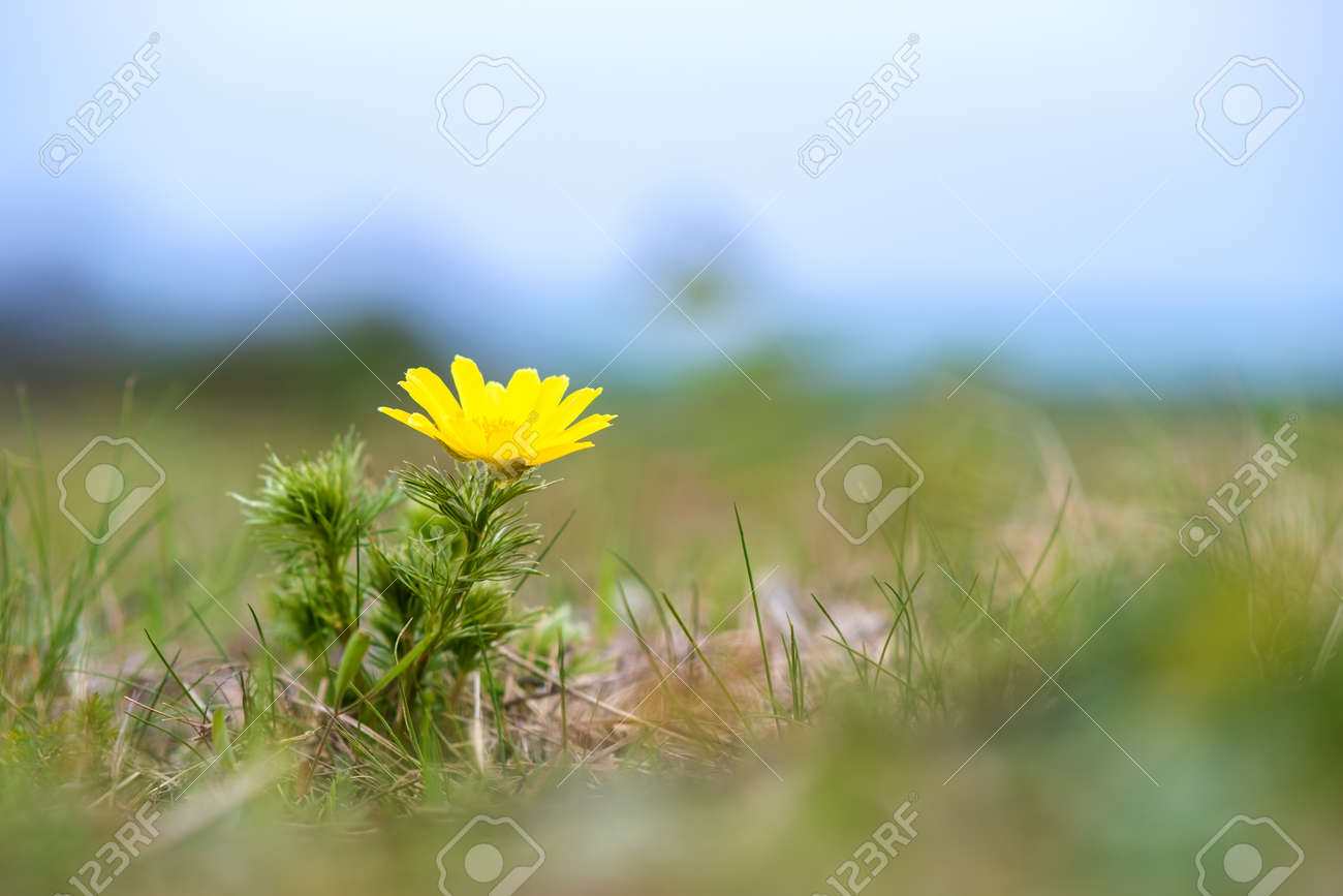 Close up of small yellow wild flower blooming in green spring field. - 165192329