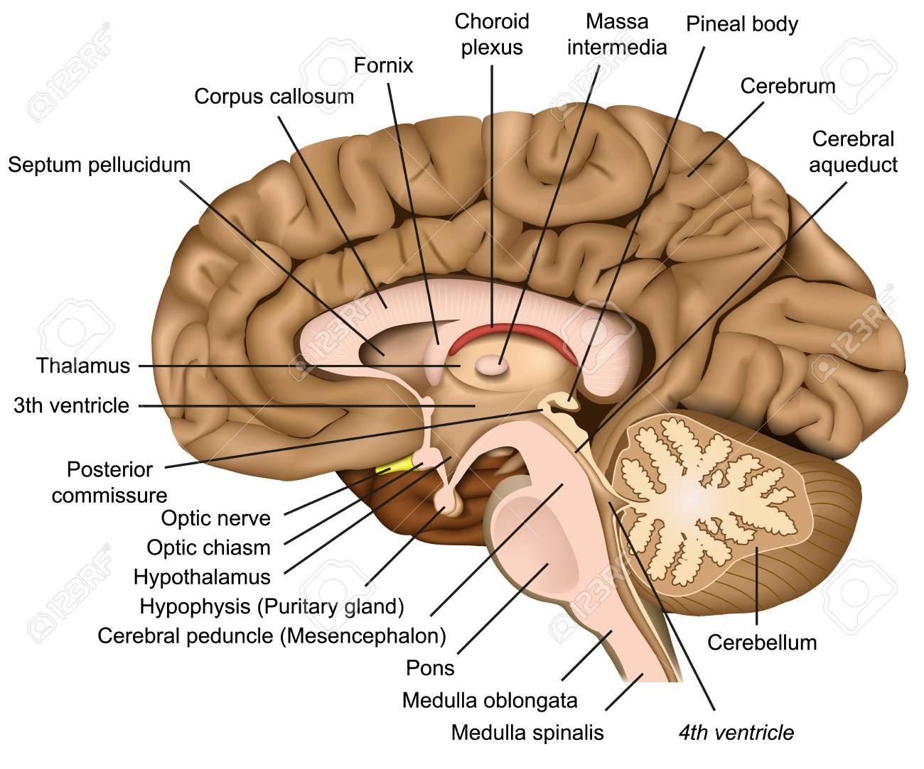 Human Brain Anatomy 3d Vector Illustration On White Background