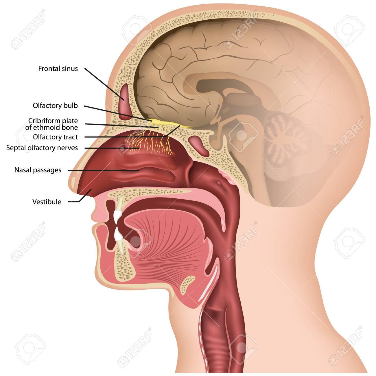Olfactory nerve medical vector illustraton on white background - 117794780