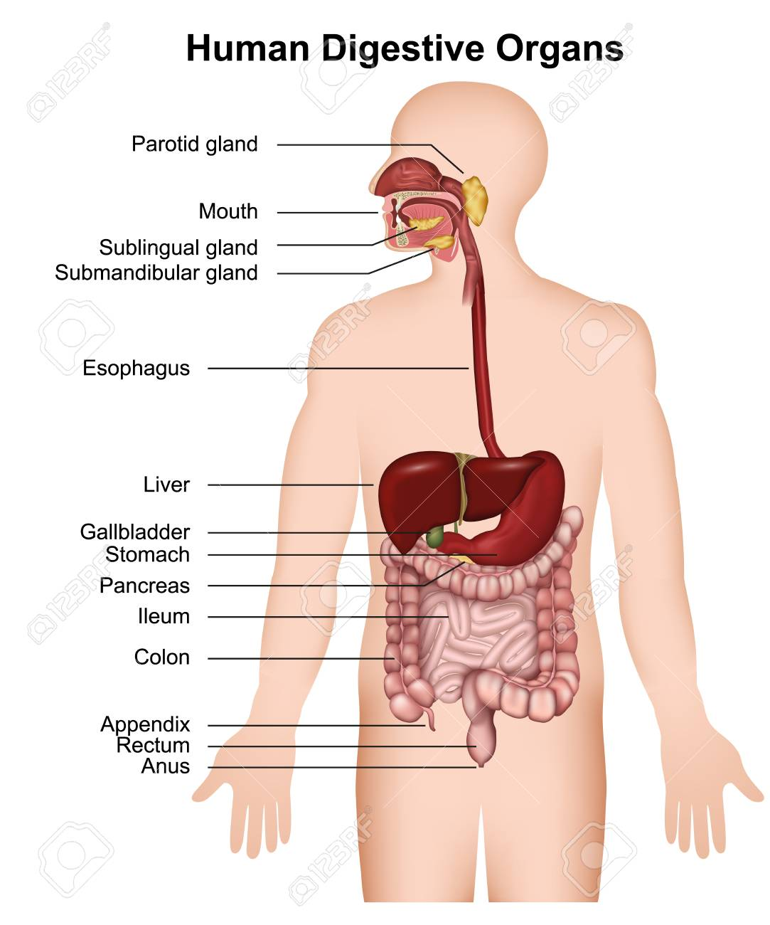 Human digestive system with description 3d medical vector illustration - 117794785