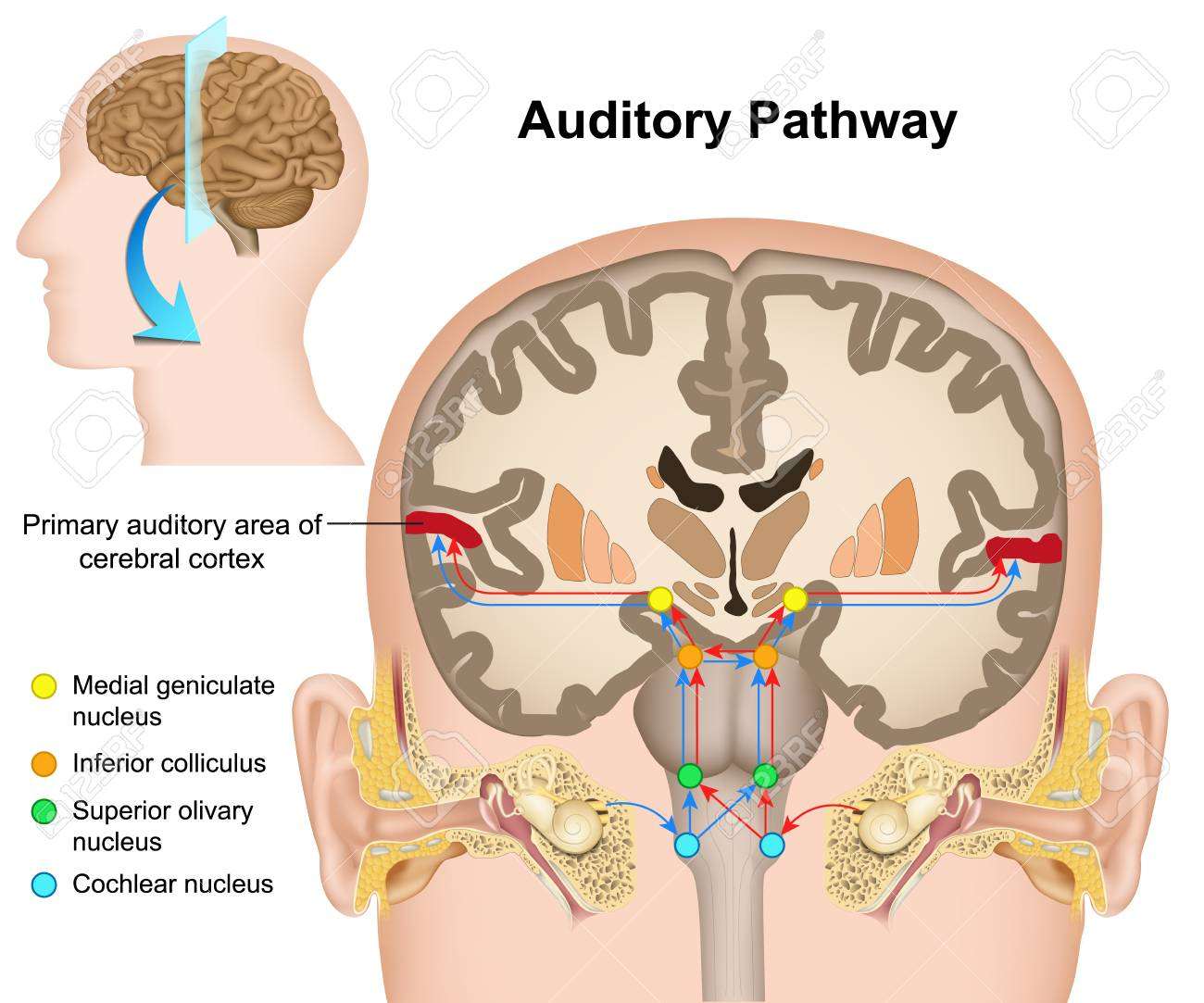 The auditory pathway medical vector illustration on white background - 117794788