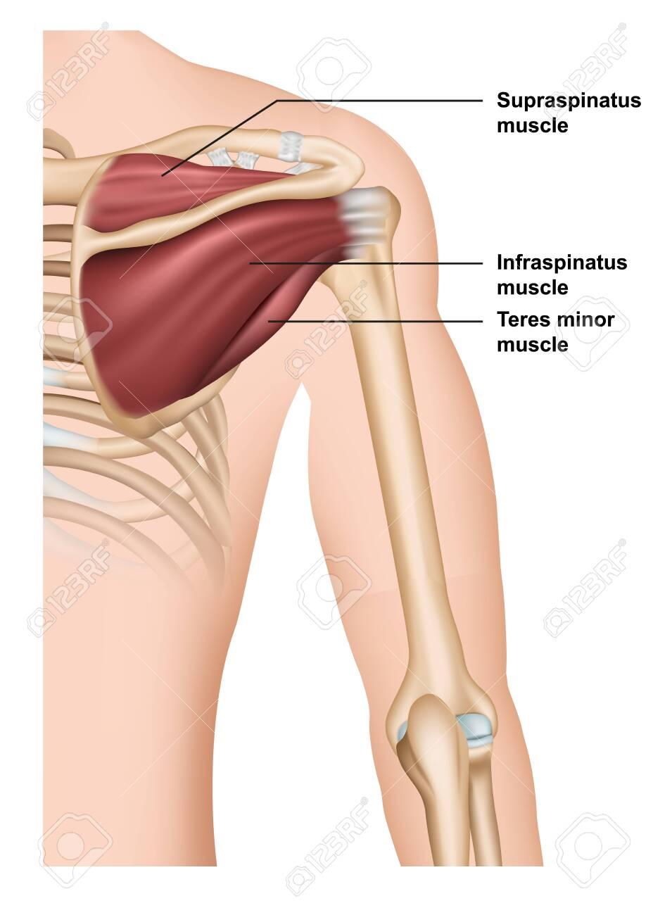 supraspinatus muscle anatomy 3d medical vector illustration - 124273797