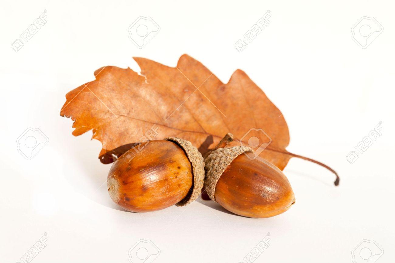 Oak Leaf and acorn Stock Photo - 11195418