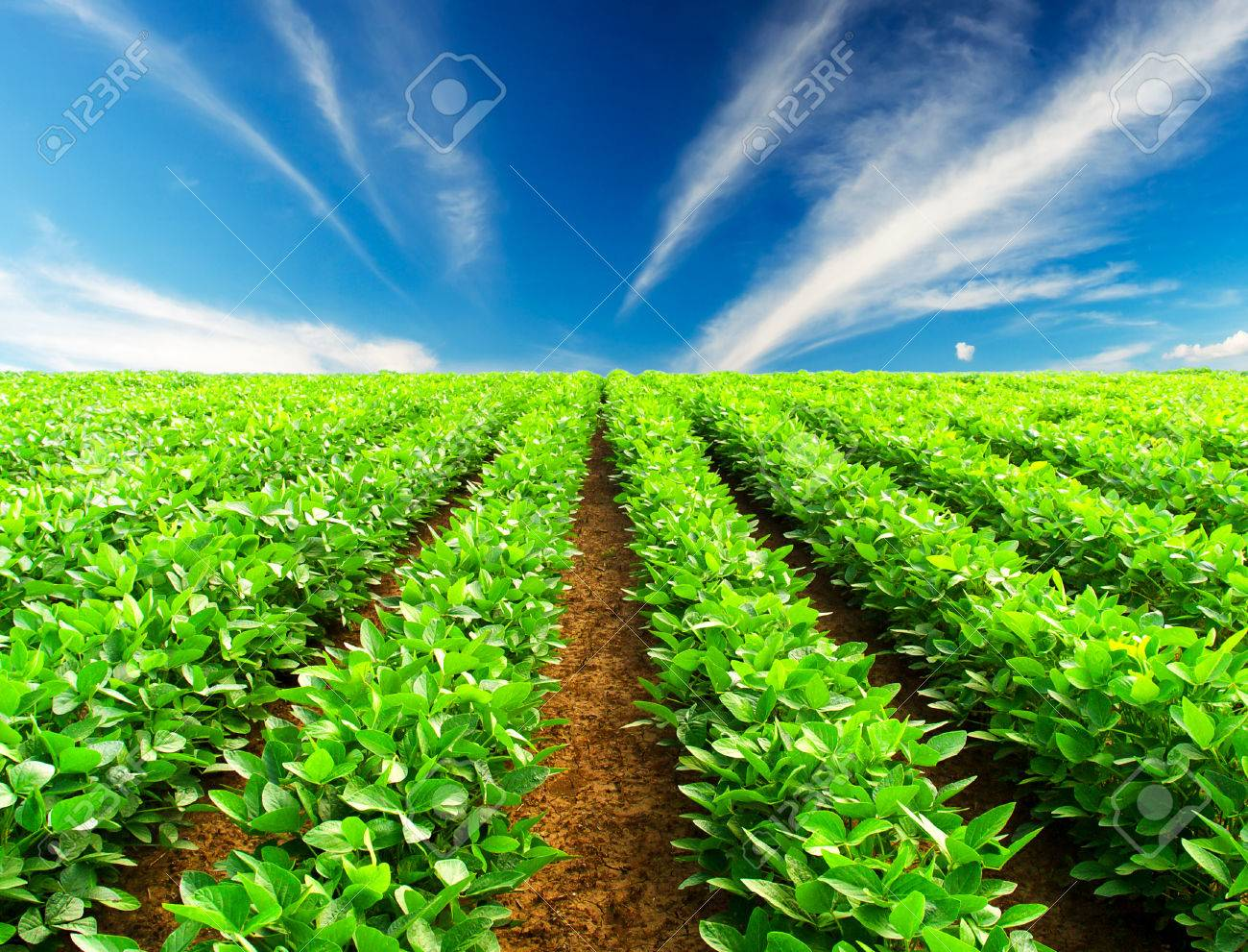 Green rows on the field - 24349411