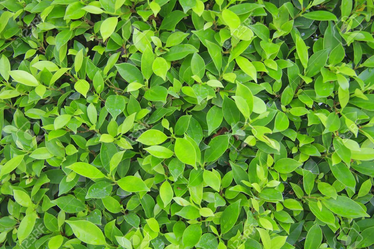 Green leaves wall background Stock Photo - 13587616