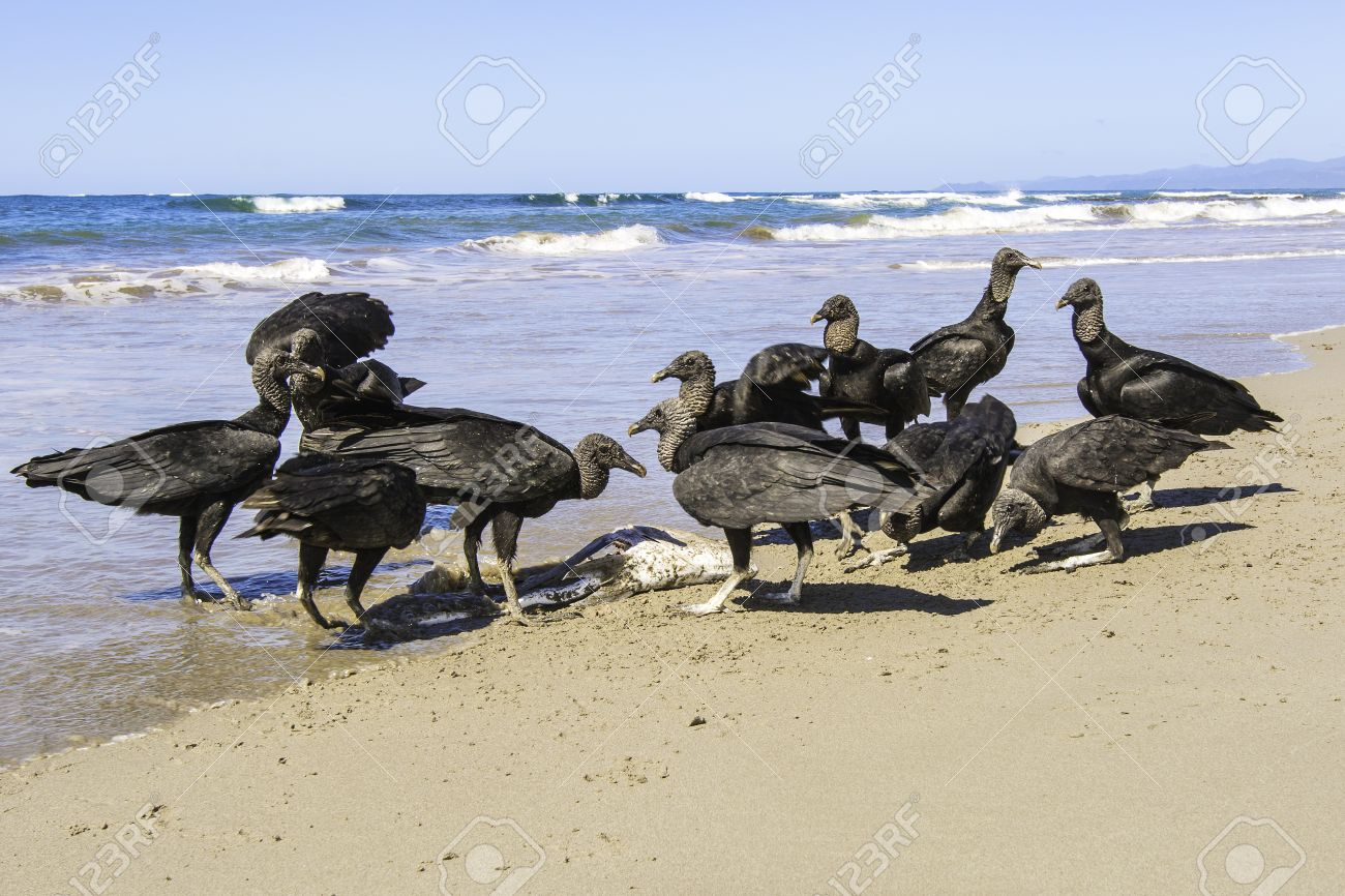http://previews.123rf.com/images/billberryphotography/billberryphotography1401/billberryphotography140100003/24824596-A-group-of-black-vultures-pick-the-carcass-of-a-dead-fish-clean-on-a-beach-in-Costa-Rica--Stock-Photo.jpg