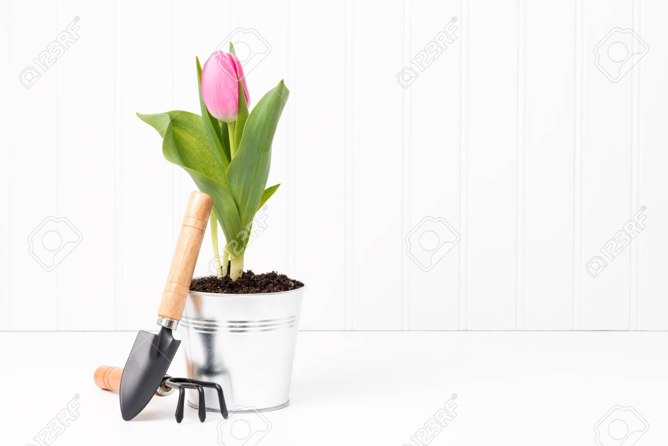 Beautiful Pink Tulip In A Metal Container With Small Garden Tools. Stock  Photo   58214099