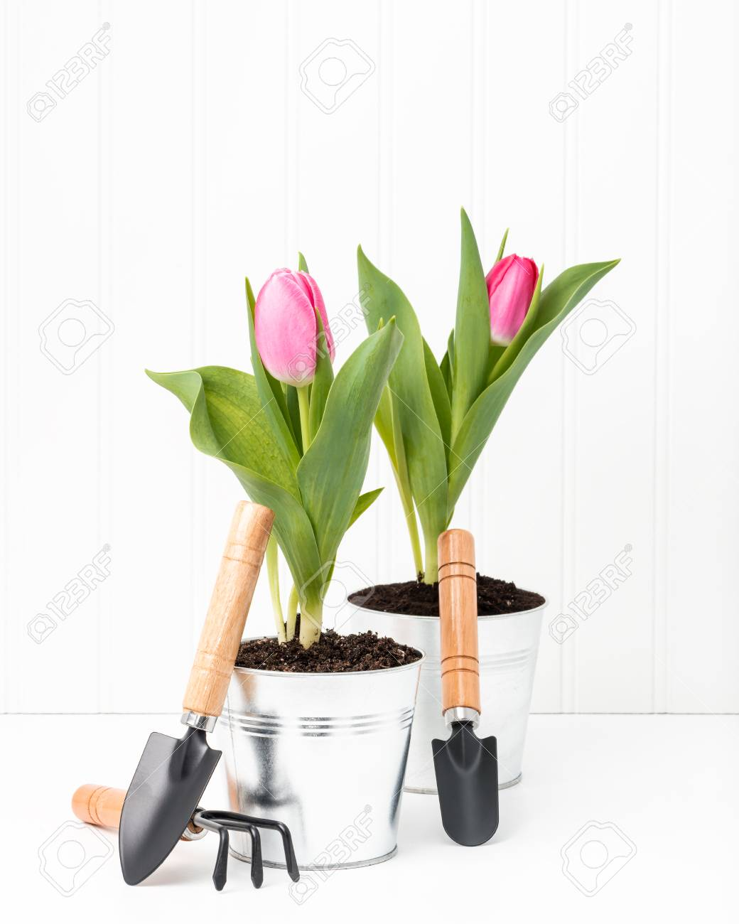 Stock Photo   Two Potted Pink Tulips With A Variety Of Small Garden Tools.