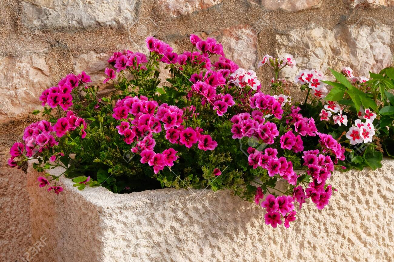 Geranium Pot With Bushes Of Blooming Plants Landscape Design