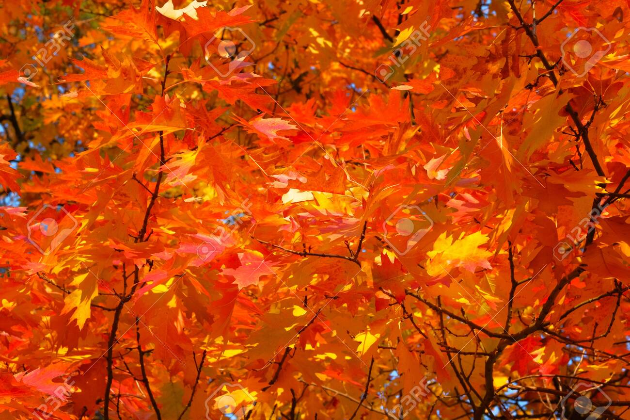 Autumn Forest Landscape On A Sunny Day With Oak Leaves Background Stock Photo Picture And Royalty Free Image Image 127090751