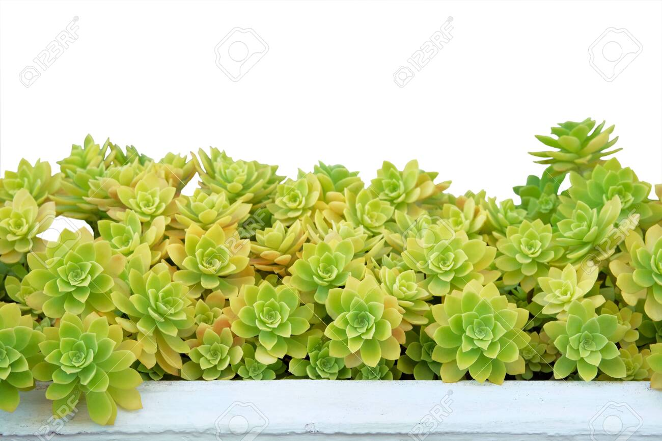 Succulents In Pot Isolated On White Background Aeonium Plants Stock Photo Picture And Royalty Free Image Image 135898902