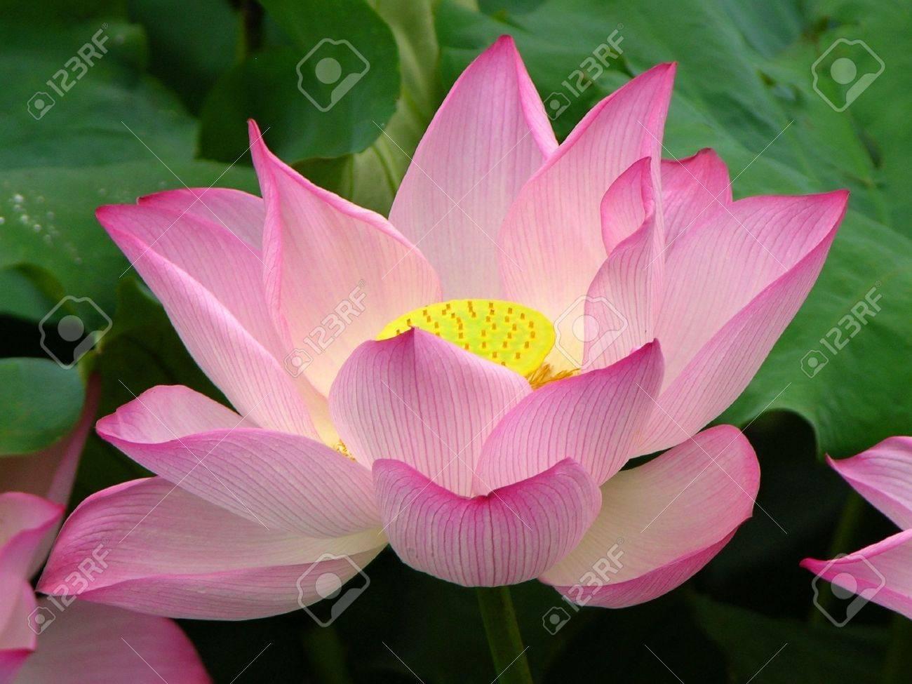 Pink Lotus Blooming and Close Up.  Lotus Pond, West Lake, Hangzhou, China Stock Photo - 2781146